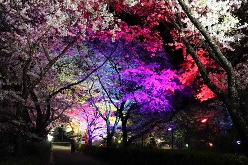 夜桜まつり開催!