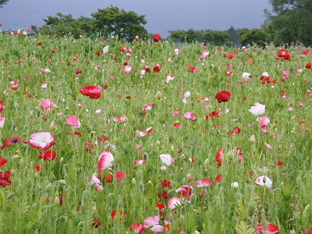 アグリの丘ポピー園 開花時期のお知らせ