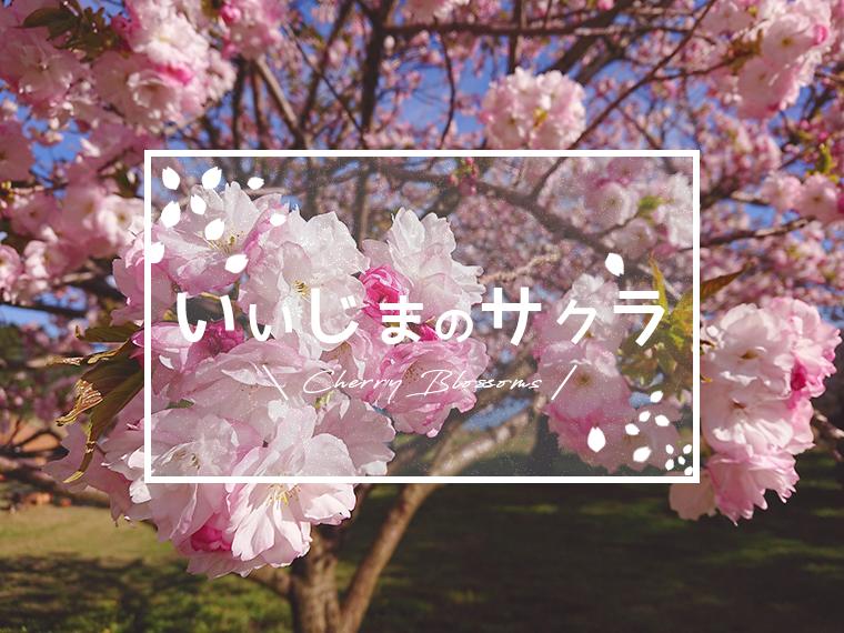 春の訪れ。いいじまのサクラ特集!第五弾